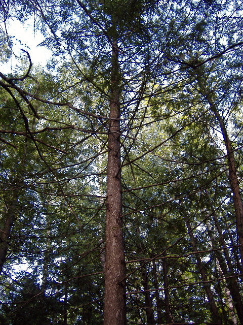 A cedar tree in nature growing straight and tall.