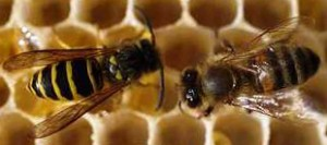 Yellow jacket vs. honeybee