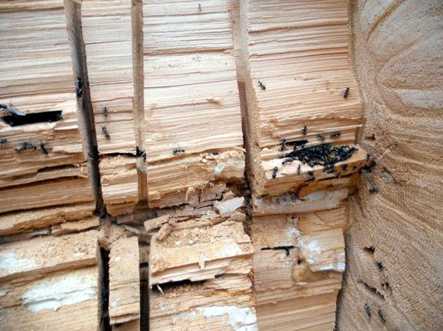 Carpenter ants investing logs