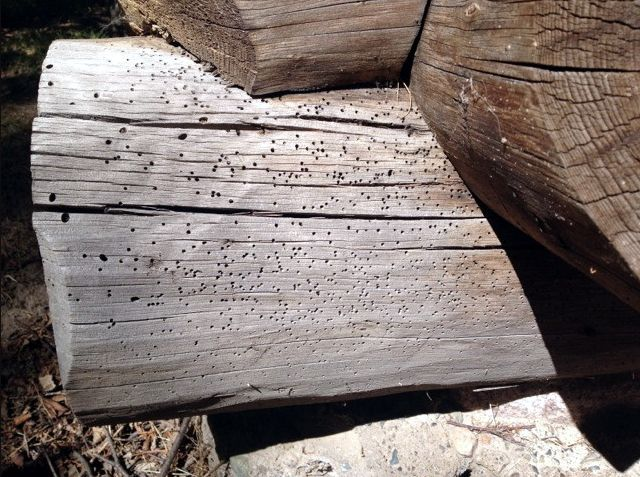 Carpenter ant holes